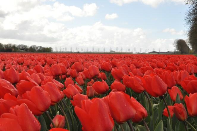 Tulips, Netherlands, Spring