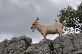 Goat, rock, nature