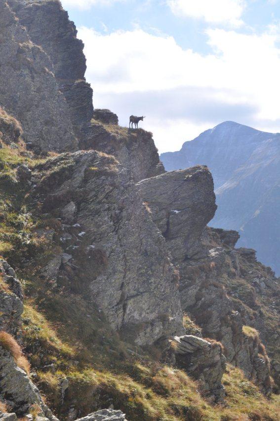 Goat, Mountains, Romania