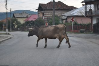 Priority of cows.
