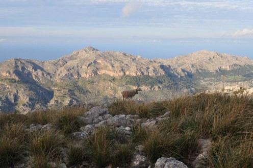 Sheep, Mallorca, Lluc