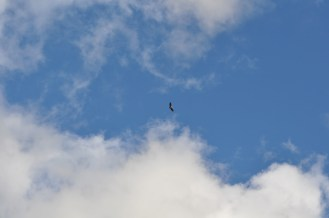 It is a vulture. No seagull.