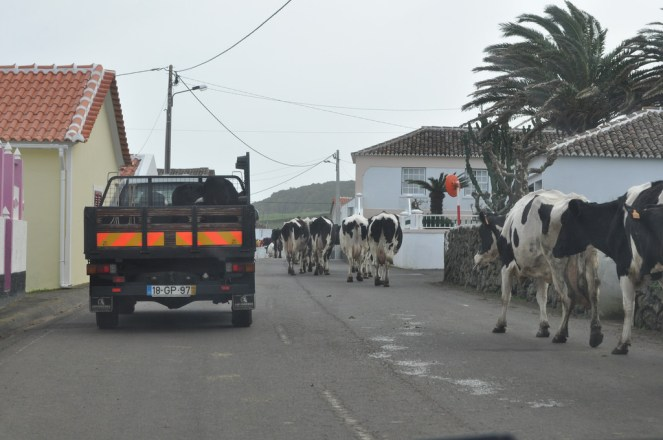 The normal traffic situation. A cow jam and the all purpose vehicle, transporting anything from dogs and cows to people and milking machines.
