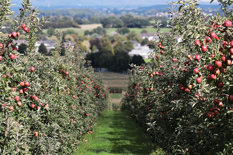Orchards are a big business in the United States. Apples wait patiently to be picked, eaten, cooked, and baked...or exported. (Photo credit: Pixabay)