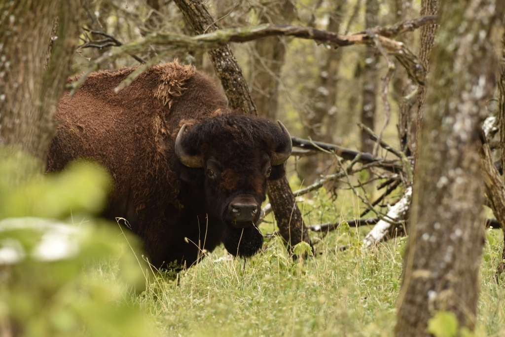 Viewing bison on a wildlife tour at Sullys Hill in Devils Lake ND