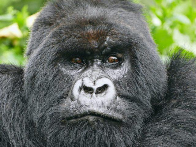 DRC Virunga Gorillas