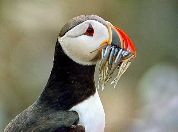 puffin skye wildlife boat trips