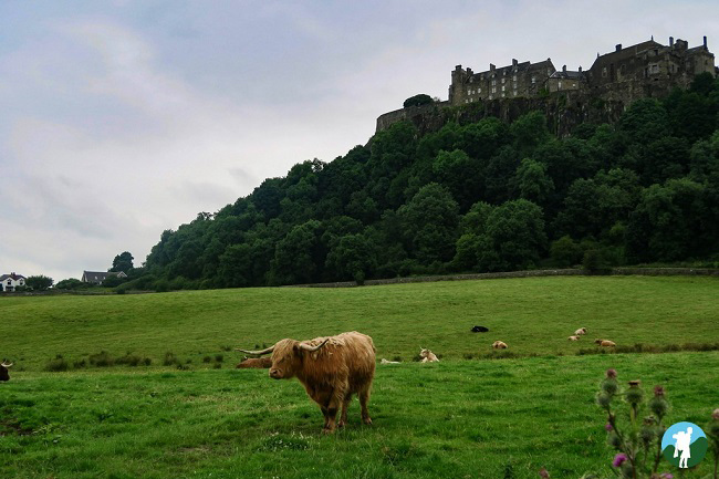 highland cow stirling castle near glasgow