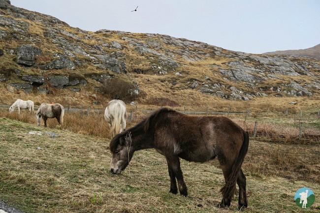 eriskay beach ponies
