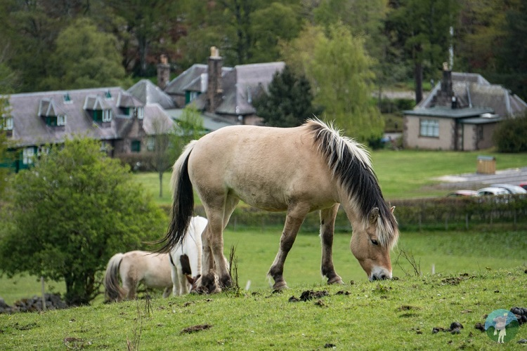 ponies scottish highlands aberdeenshire