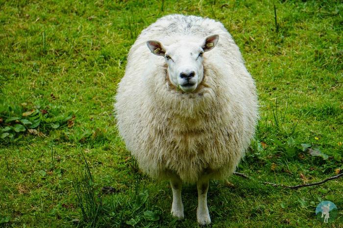 sheep highlands scotland