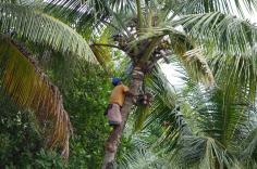 5.1453206507.coconut-harvesting-hear-the-tubki