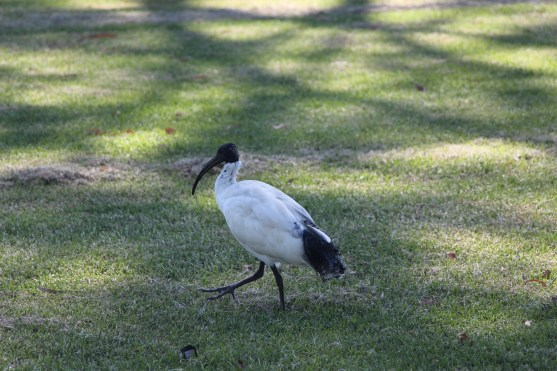 The Ibis, or Bin Chicken as it's commonly known.
