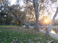 Sycamores in Bidwell Park