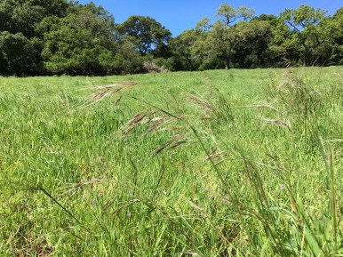 Our state grass, Nassella pulchra (purple needlegrass)