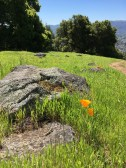 Fence lizard and poppies