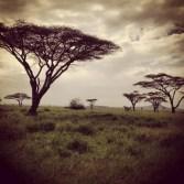 Acacia Trees in the Serengeti Landscape