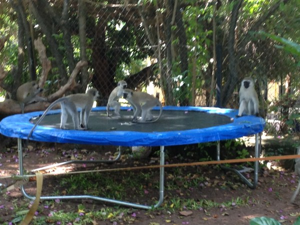 Monkeys playing our trampoline in our back garden in Mwanza, Tanzania