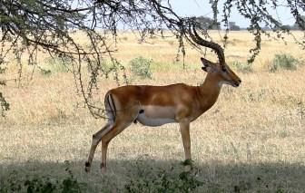 Male impala in the Serengeti National Park, Tanzania