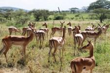 Female impalas in the Serengeti National Park, Tanzania