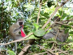 Vervet monkeys eating the hibiscus flowers in our garden in Mwanza, Tanzania