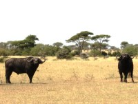 Cape Buffalo in the Serengeti National Park