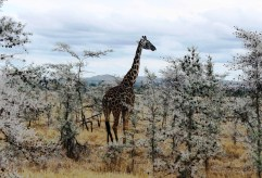 Giraffe and Whistling Acacia trees in the Serengeti National Park