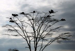 Vultures spreading their wings in the Serengeti National Park