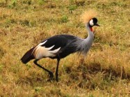 Crowned stork in the Serengeti National Park