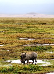 Warthog in the Ngorogoro Crater.