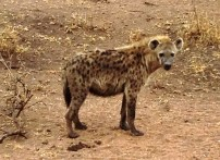 The Spotted Hyena in the Serengeti National Park