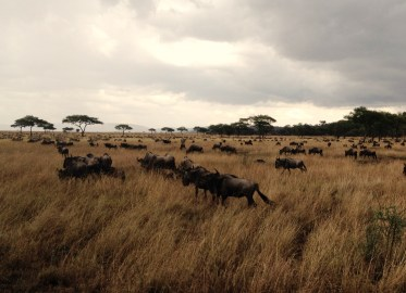 Wildebeest in the Serengeti National Park, Tanzania