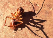 Close up cockroach and cockroach's shadow