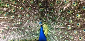 Peacock posing for the camera at Skansen in Stockholm, Sweden