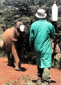 Elephant drinking milk at the the David Sheldrick Wildlife Trust in Nairobi