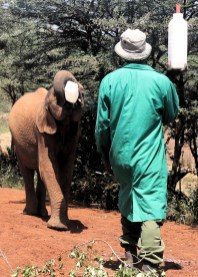 Elephant drinking milk at the the David Sheldrick Wildlife Trust in Nairobi