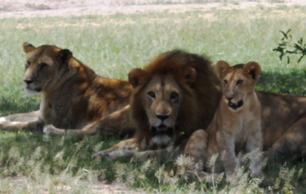 A pride of lions in the Serengeti National Park, Tanzania
