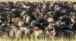 Migration of the Wildebeest in the Serengeti National Park, Tanzania