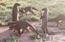 A family of banded mongooses