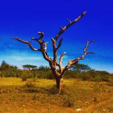 Tree in the Serengeti landscape
