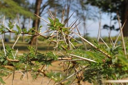 Close up Whistling Acacia tree