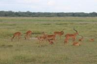 Thompson's gazelle in Amboseli National Park, Kenya