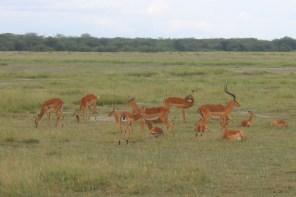 Thomson's gazelle in Amboseli National Park, Kenya