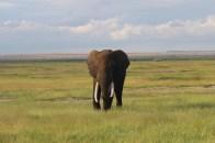 Elephant in Amboseli National Park, Kenya