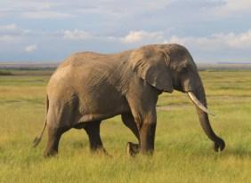 Elephant at dusk in Amboseli National Park, Kenya