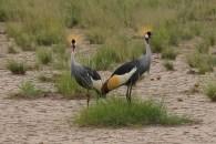 Grey crowned cranes in Amboseli National Park, Kenya
