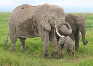 Mamma and baby elephant in Amboseli National Park in Kenya