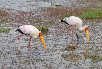 Yellow billed storks in Amboseli National Park, Kenya