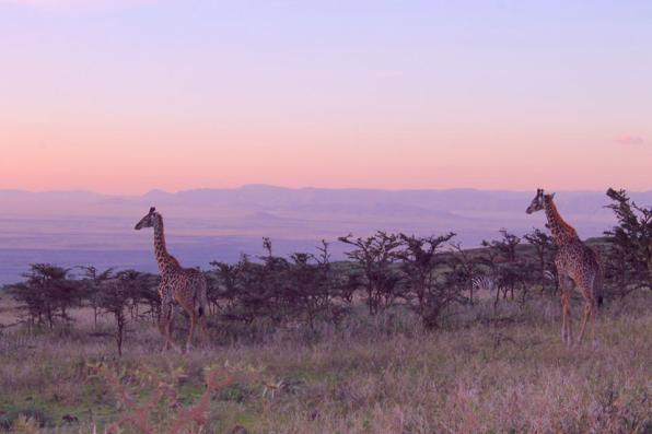Zebras and giraffes in the Ngorogoro Crater in Tanzania