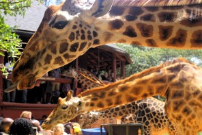 Giraffes at the Giraffe Centre in Nairobi
